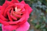林靜安攝影作品《紅色的玫瑰》