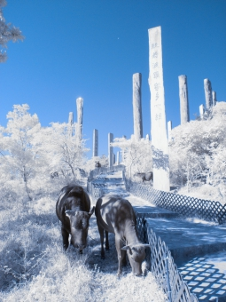 李業福攝影作品《大澳之牛》